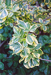 E.T. Gold Wintercreeper (Euonymus fortunei 'E.T. Gold') at Alsip Home and Nursery