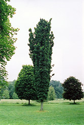 Seneca Chief Sugar Maple (Acer saccharum 'Seneca Chief') at Alsip Home and Nursery
