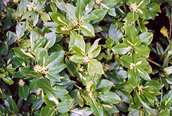 Sunspot Wintercreeper (Euonymus fortunei 'Sunspot') at Alsip Home and Nursery