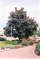 Deborah Norway Maple (Acer platanoides 'Deborah') at Alsip Home and Nursery