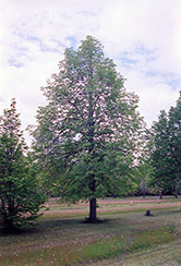 Rancho Linden (Tilia cordata 'Rancho') at Alsip Home and Nursery