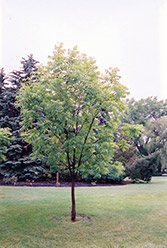 Northern Gem Hybrid Ash (Fraxinus 'Northern Gem') at Alsip Home and Nursery