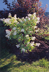Praecox Hydrangea (Hydrangea paniculata 'Praecox') at Alsip Home and Nursery