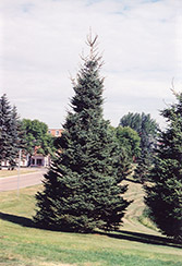 Black Hills Spruce (Picea glauca 'Densata') at Alsip Home and Nursery