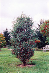 Chinese Juniper (Juniperus chinensis) at Alsip Home and Nursery