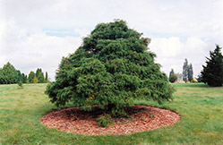 Threadleaf Falsecypress (Chamaecyparis pisifera 'Filifera') at Alsip Home and Nursery