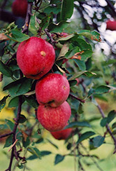 Braeburn Apple (Malus 'Braeburn') at Alsip Home and Nursery