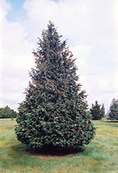 Blue Nootka Cypress (Chamaecyparis nootkatensis 'Glauca') at Alsip Home and Nursery