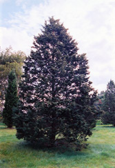 Hill's Redcedar (Juniperus virginiana 'Hillii') at Alsip Home and Nursery
