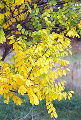 Japanese Pagoda Tree (Sophora japonica) at Alsip Home and Nursery