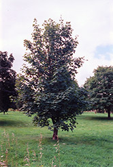 Sycamore Maple (Acer pseudoplatanus) at Alsip Home and Nursery