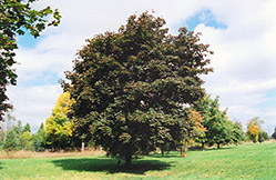 Schwedler Norway Maple (Acer platanoides 'Schwedleri') at Alsip Home and Nursery