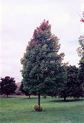 Bowhall Red Maple (Acer rubrum 'Bowhall') at Alsip Home and Nursery