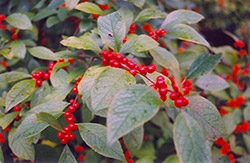 Jolly Red Winterberry (Ilex verticillata 'Jolly Red') at Alsip Home and Nursery