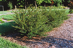 Glory Japanese Holly (Ilex crenata 'Glory') at Alsip Home and Nursery