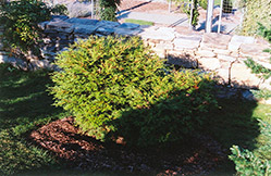 Dwarf Pygmy Falsecypress (Chamaecyparis obtusa 'Pygmaea') at Alsip Home and Nursery