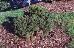 Minima Spruce (Picea abies 'Minima') at Alsip Home and Nursery