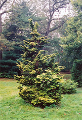 Slender Golden Falsecypress (Chamaecyparis obtusa 'Gracilis Aurea') at Alsip Home and Nursery