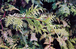 Andeley Whitecedar (Chamaecyparis thyoides 'Andeleyensis') at Alsip Home and Nursery