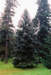 Thompsen Blue Spruce (Picea pungens 'Thompsen Blue') at Alsip Home and Nursery