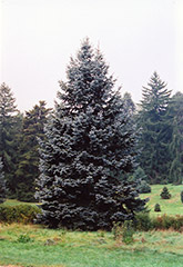 Hoopsii Blue Spruce (Picea pungens 'Hoopsii') at Alsip Home and Nursery