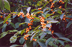 Yellow-Fruited Winterberry (Ilex verticillata 'Chrysocarpa') at Alsip Home and Nursery