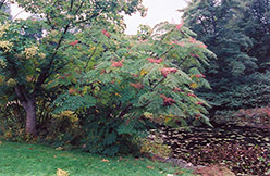 Japanese Angelica Tree (Aralia elata) at Alsip Home and Nursery