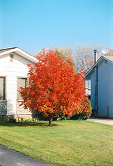European Mountain Ash (Sorbus aucuparia) at Alsip Home and Nursery