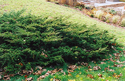 Koster's Redcedar (Juniperus virginiana 'Kosteri') at Alsip Home and Nursery