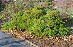 Dwarf Threadleaf Falsecypress (Chamaecyparis pisifera 'Filifera Nana') at Alsip Home and Nursery
