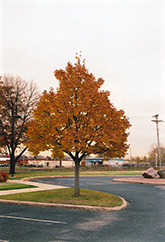 Olympic Linden (Tilia cordata 'Olympic') at Alsip Home and Nursery