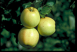 Honeygold Apple (Malus 'Honeygold') at Alsip Home and Nursery