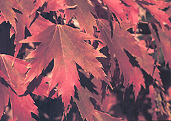 Firefall Maple (Acer x freemanii 'Firefall') at Alsip Home and Nursery