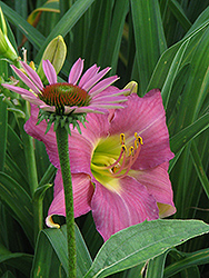 Whimsical Daylily (Hemerocallis 'Whimsical') at Alsip Home and Nursery
