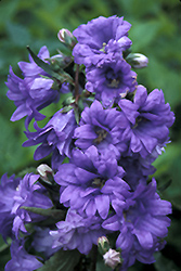 Bernice Bellflower (Campanula trachelium 'Bernice') at Alsip Home and Nursery