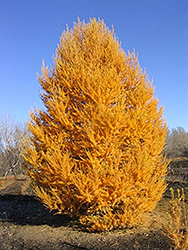 Oasis Siberian Larch (Larix sibirica 'Durcarl') at Alsip Home and Nursery