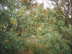 Indian Summer Sea Buckthorn (Hippophae rhamnoides 'Indian Summer') at Alsip Home and Nursery