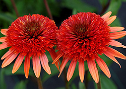 Coral Reef Coneflower (Echinacea 'Coral Reef') at Alsip Home and Nursery