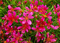 Strawberry Punch Tickseed (Coreopsis 'Strawberry Punch') at Alsip Home and Nursery