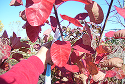 Cotton Candy American Smoketree (Cotinus obovatus 'Cotton Candy') at Alsip Home and Nursery
