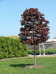 Conquest Norway Maple (Acer platanoides 'Conzam') at Alsip Home and Nursery