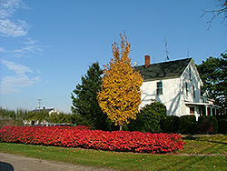 Fireball Red Maple (Acer rubrum 'Firzam') at Alsip Home and Nursery