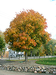 Medallion Norway Maple (Acer platanoides 'Medzan') at Alsip Home and Nursery