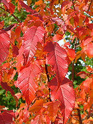 Mozart Amur Maple (Acer ginnala 'Mozam') at Alsip Home and Nursery