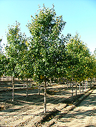St. Gregory Hedge Maple (Acer campestre 'Stgrezam') at Alsip Home and Nursery