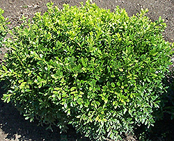 Antarctica Boxwood (Buxus microphylla 'Antzam') at Alsip Home and Nursery