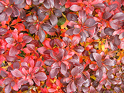 Midnight Ruby Barberry (Berberis thunbergii 'Miruzam') at Alsip Home and Nursery