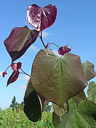 Rosy O'Grady Redbud (Cercis canadensis 'Rosy O'Grady') at Alsip Home and Nursery