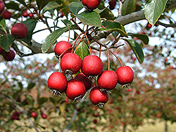 Crusader Cockspur Hawthorn (Crataegus crus-galli 'Crusader') at Alsip Home and Nursery