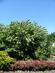 Cuyahoga Gray Dogwood (Cornus racemosa 'Cuyzam') at Alsip Home and Nursery